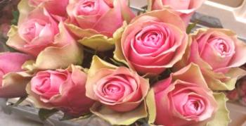 Pink Rose Bella Rose: opis in nega